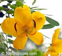 Cassia spectabilis, Senna spectabilis, Senna macranthera, Cassia, Scented Shower  Click to see full-size image