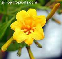 Hamelia cuprea, Bahama Firebush  Click to see full-size image