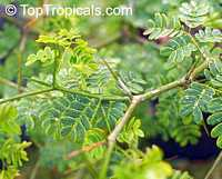 Pithecellobium tortum, Brazilian Raintree   Click to see full-size image