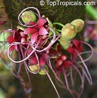 Herrania purpurea, Monkey Cocoa   Click to see full-size image