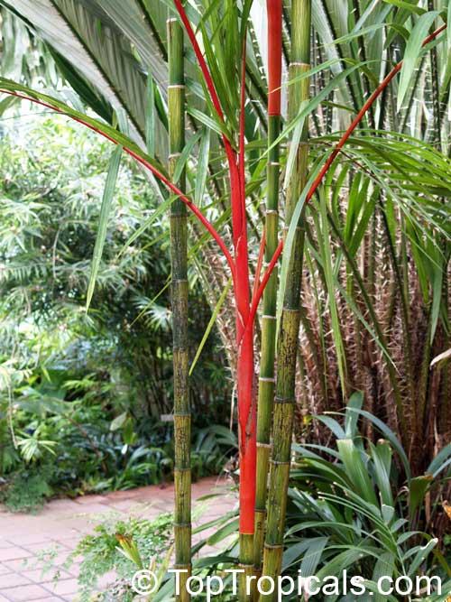Cyrtostachys lakka, Cyrtostachys renda, Lipstick Palm, Sealing Wax Palm - TopTropicals.com