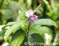 Solanum conocarpum , Marron Bacoba  Click to see full-size image