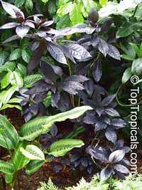 Pseuderanthemum carruthersii 'Black Magic'. Eranthemum nigrum, Black Magic, Sky Flower, Ebony  Click to see full-size image
