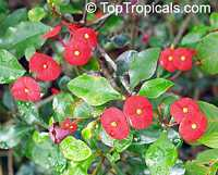 Euphorbia geroldii - Thornless Crown of Thorns