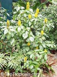 Justicia aurea, Jacobina aurea, Jacobinia aurea, Yellow Jacobinia, Golden Plume  Click to see full-size image