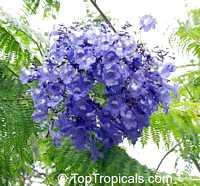Jacaranda cuspidifolia - seeds  Click to see full-size image