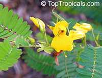 Chamaecrista sp., Wild Sensitive Plant, Partridge Pea Click to see full-size image