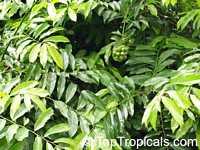 Artabotrys hexapetalus, Artabotrys odoratissimus, Artabotrys uncinatus, Ylang Ylang Vine, Bhandari Vine, Climbing Lang-Lang, Tail Grape, Ilang-Ilang  Click to see full-size image