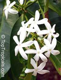 Kopsia arborea (pruniformis) - Pin-MalaClick to see full-size image
