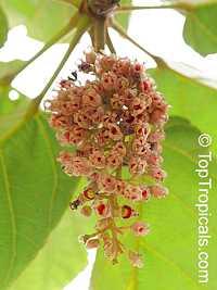 Sterculia tragacantha, Gum Tragacanth, Sterculia  Click to see full-size image