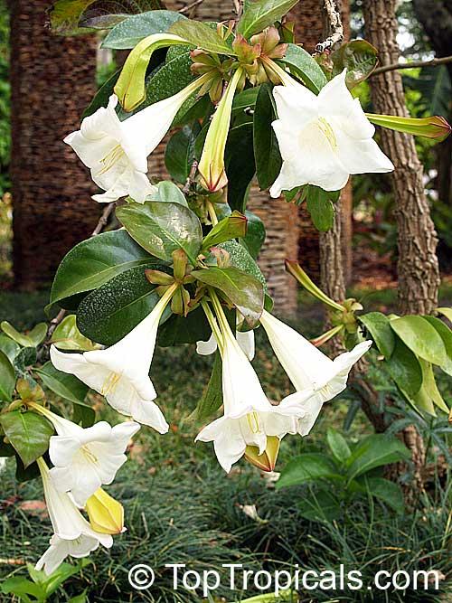 Portlandia grandiflora bell flower glorious flower of cuba white portlandia grandiflora bell flower glorious flower of cuba white horse flower tree mightylinksfo