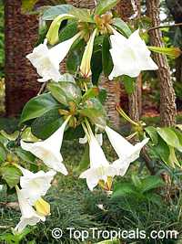Portlandia grandiflora, Bell Flower, Glorious Flower of Cuba, White Horse Flower, Tree Lily  Click to see full-size image