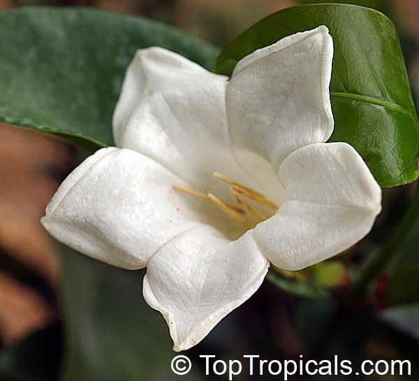 portlandia grandiflora, bell flower, glorious flower of cuba, Beautiful flower