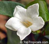 Portlandia grandiflora - Glorious Flower of Cuba, 3 gal pot  Click to see full-size image