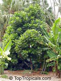 Filicium decipiens , Japanese Fern Tree 