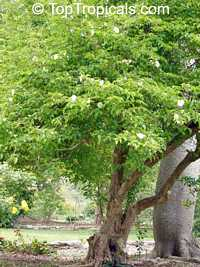Oncoba spinosa, Snuff-box Tree, Fried Egg Tree  Click to see full-size image