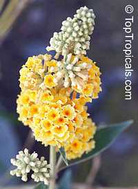 Buddleja sp., Butterfly Bush  Click to see full-size image