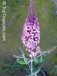 Buddleja davidii, Butterfly Bush  Click to see full-size image