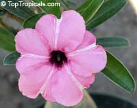 Adenium boehmianum, Desert Rose  Click to see full-size image
