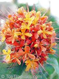 Saraca indica - Ashoka Tree  Click to see full-size image