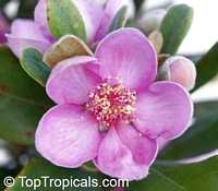Rhodomyrtus tomentosa - Rose Myrtle  Click to see full-size image
