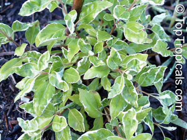Vitex Sp Variegata Variegated Arabian Lilac