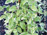 Vitex sp. Variegata, Variegated Arabian Lilac  Click to see full-size image