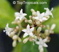 Psychotria ipecacuanha, Cephaelis ipecacuanha, Ipecacuanha  Click to see full-size image