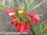 Heteropterys glabra, Heteropterys angustifolia, Mariposa, Red WingClick to see full-size image