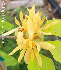 Magnolia x alba 'Golden' (Champaa Thong), Golden Magnolia, Champaa Thong, Golden Michelia, Michelia alba 'Golden'  Click to see full-size image