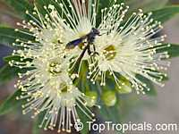 Xanthostemon verticillatus, Little PendaClick to see full-size image