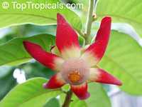 Uvaria grandiflora, Unona grandiflora, Uva grandiflora, Uvaria cardinalis, Uvaria flava, Uvaria platypetala, Uvaria purpurea, Uvaria rubra, Large-flowered UvariaClick to see full-size image
