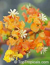 Byrsonima crassifolia - Nancy Tree  Click to see full-size image