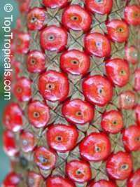 Anthurium hookeri, Bird's Nest Anthurium  Click to see full-size image