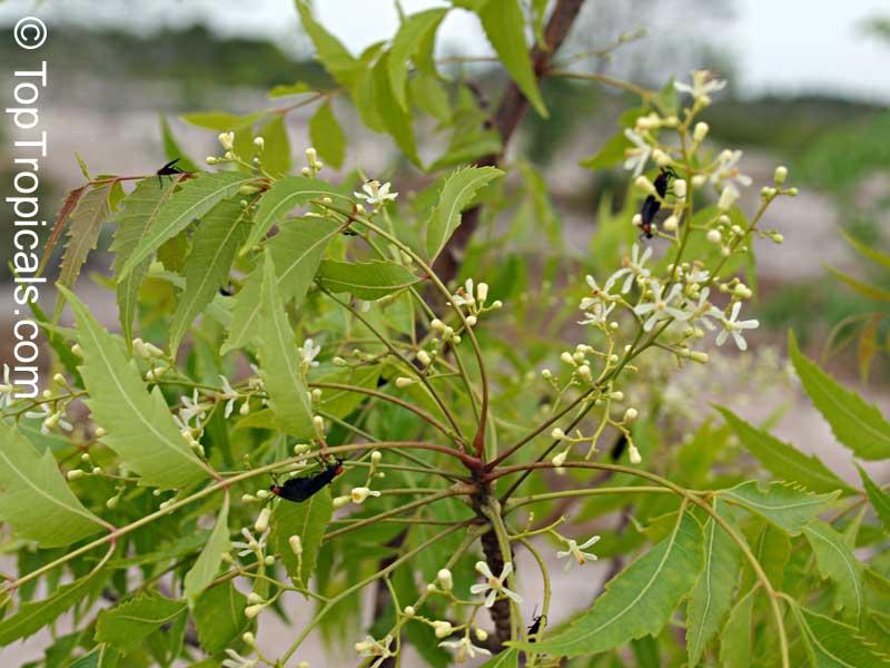 Azadirachta Indica Antelaea Azadirachta Neem Tree Nim