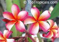 Plumeria Pink Jaopraya, grafted  Click to see full-size image