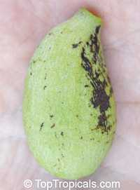 Asimina reticulata, Netted Pawpaw  Click to see full-size image