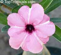 Adenium boehmianum, Desert Rose