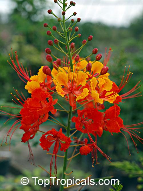 caesalpinia pulcherrima red dwarf poinciana seeds click to see fullsize image