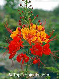 Caesalpinia pulcherrima - Red Dwarf Poinciana, Bird of Paradise  Click to see full-size image