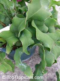 Epiphyllum guatemalense Monstrosa, Leaf Cactus  Click to see full-size image
