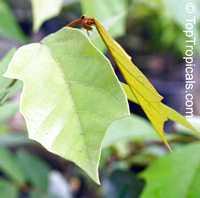 Pterospermum diversifolium, Pterospermum  Click to see full-size image