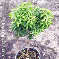 Wrightia vietnamensis, Dwarf Sacred Buddhist  Click to see full-size image