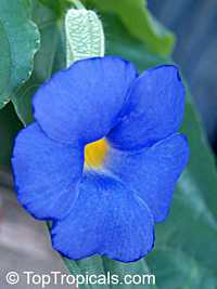 Thunbergia battiscombei, Bengal Clock Vine, Blue Trumpet Vine, Blue Sky vine, Scrambling sky flower, Blue Glory  Click to see full-size image