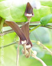 Aristolochia tagala, Aristolochia acuminata, Aristolochia roxburghiana, Indian Birthwort, Oval leaf Dutchman's Pipe  Click to see full-size image