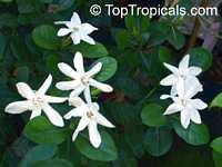 Gardenia taitensis Heaven Scent, Tahiti Gardenia  Click to see full-size image