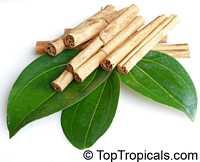 Cinnamomum zeylanicum (Cinnamomum verum) Click to see full-size image
