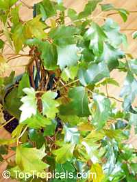 Cissus rhombifolia, Grape Ivy, Oak Leaf Ivy 