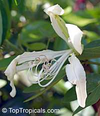 Bauhinia forficata, Bauhinia candicans , Pata de Vaca  Click to see full-size image