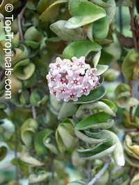 Hoya Hindu Rope  Click to see full-size image